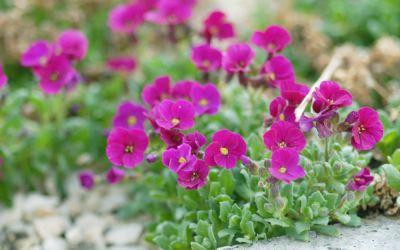 Aubrieta Hybride Rubinfeuer - Blaukissen