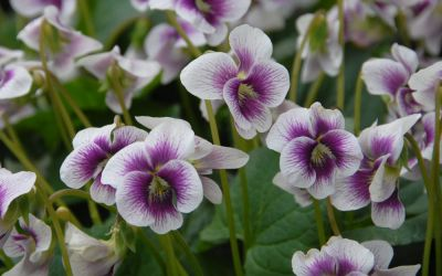 Viola sororia Alice Witter - Veilchen