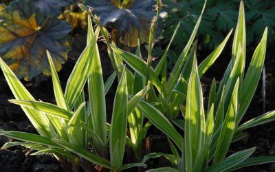 Carex siderosticta Variegata - Breitblatt-Segge