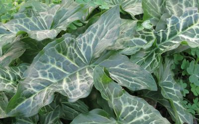 Arum italicum ssp. italicum Pictum - Geaderter Aronstab