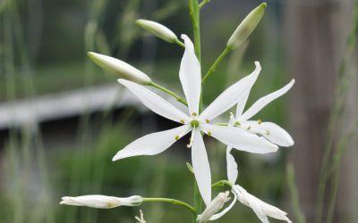 Anthericum liliago  - Ährige Graslilie