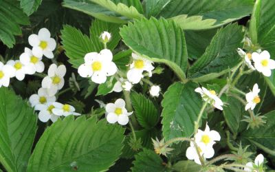 Fragaria vesca - Wald-Erdbeere