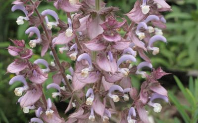 Salvia sclarea - Muskateller-Salbei
