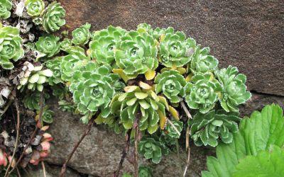 Saxifraga paniculata (großrosettig) - Rispen-Steinbrech