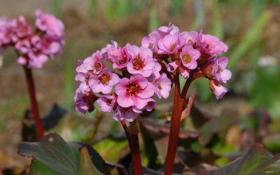 Bergenia Hybride Herbstblüte - Bergenie
