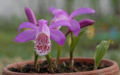 Pleione limprichtii - Tibet-Orchidee
