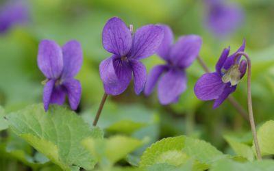 Viola odorata Baronne Alice de Rothschild - Duft-Veilchen