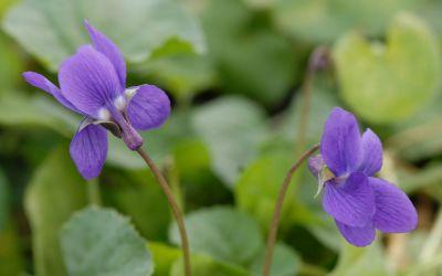 Viola odorata Königin Charlotte - Duft-Veilchen
