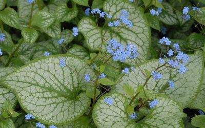 Brunnera macrophylla Jack Frost ® - Silberblättriges Kaukasus-Vergissmeinnicht