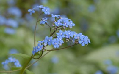 Brunnera macrophylla - Kaukasus-Vergissmeinnicht