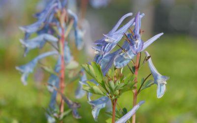 Corydalis Hybride Spinners - Blauer Lerchensporn