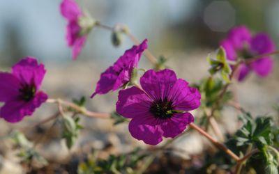 Geranium cinereum ssp. subcaulescens Giuseppii - Grauer Storchschnabel, Zwerg-Storchschnabel