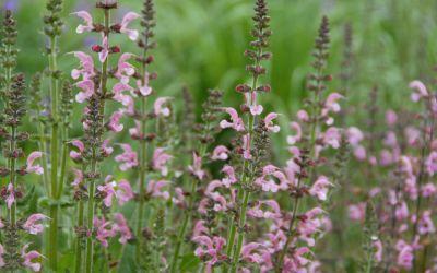 Salvia pratensis Rose Rhapsody - Wiesen-Salbei