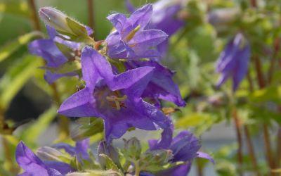 Campanula trachelium - Nessel-Glockenblume