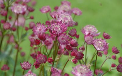 Astrantia major Moulin Rouge ® - Sterndolde