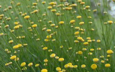 Santolina rosmarinifolia ssp. rosmarinifolia - Grünes Heiligenkraut, Olivenkraut