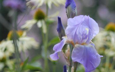 Iris barbata-elatior Lovely Again - Hohe Bart-Iris, Schwertlilie