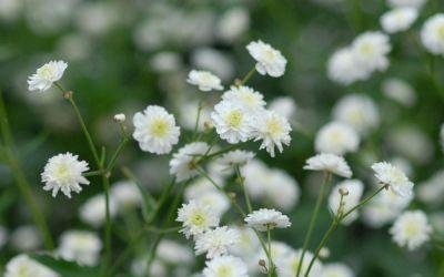Ranunculus aconitifolius Pleniflorus - Silber-Hahnenfuß