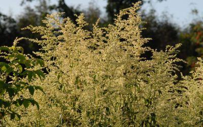 Artemisia lactiflora Elfenbein - Elfenraute, China-Beifuß