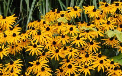 Rudbeckia fulgida var. sullivantii Goldsturm - Prächtiger Sonnenhut