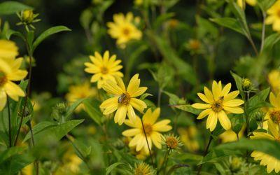 Helianthus microcephalus  - Stauden-Sonnenblume