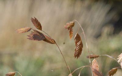 Chasmanthium latifolium - Plattährengras
