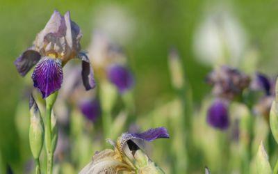 Iris sambucina - Holunder-Schwertlilie