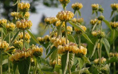 Phlomis russeliana - Brandkraut