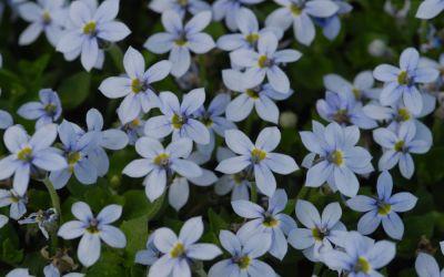 Pratia pedunculata - Blauer Bubikopf, Scheinlobelie