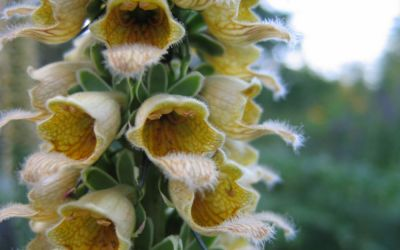 Digitalis ferruginea Gelber Herold - Fingerhut
