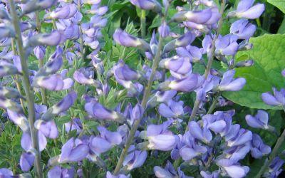 Baptisia australis  - Indigolupine, Färberhülse