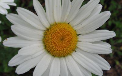 Leucanthemum Maximum-Hybride Brightside - Sommer-Margerite, Garten-Margerite
