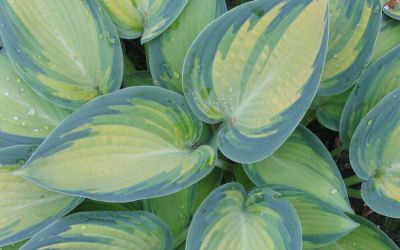 Hosta Hybride June - Blau-Gold-Funkie