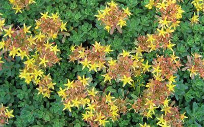 Sedum floriferum Weihenstephaner Gold - Polster-Fettblatt