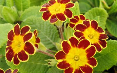 Primula Elatior-Hybr. Victoriana Gold Lace Red - Gesäumte Primel