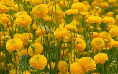 Ranunculus acris Multiplex - Scharfer Hahnenfuß