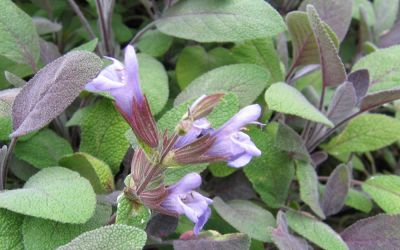 Salvia officinalis Purpurascens - Purpurlaubiger Gewürz-Salbei