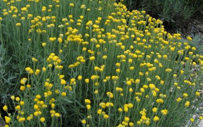 Santolina chamaecyparissus  - Heiligenkraut, Zypressenkraut