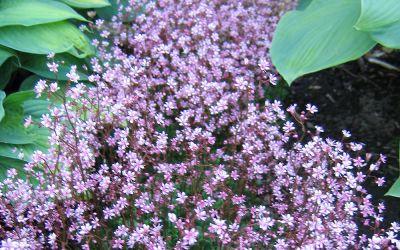 Saxifraga x urbium Clarence Elliott - Zierliches Porzellanblümchen