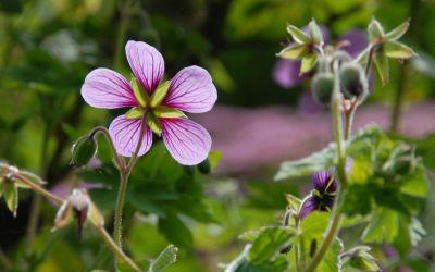 Geranium Hybride Salome - Storchschnabel
