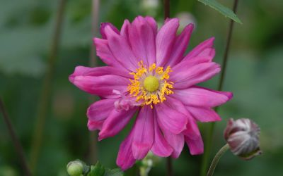 Anemone Japonica-Hybride Bressingham Glow - Herbst-Anemone