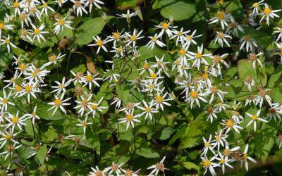 Aster divaricatus - Sommer-Wald-Aster