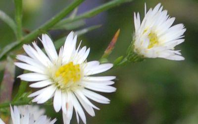 Aster ericoides Schneetanne - Myrten-Aster, Septemberkraut
