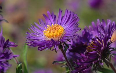 Aster novae-angliae Violetta - Raublatt-Aster