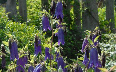 Campanula Punctata-Hybride Sarastro - Großblütige Glockenblume