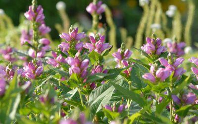 Chelone obliqua  - Schlangenkopf, Schildblume