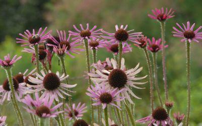 Echinacea tennesseensis Rocky Top Hybriden - Tennessee-Scheinsonnenhut