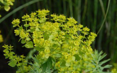 Euphorbia seguieriana ssp. niciciana - Steppen-Wolfsmilch