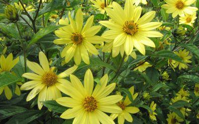 Helianthus Microcephalus-Hybride Lemon Queen - Stauden-Sonnenblume