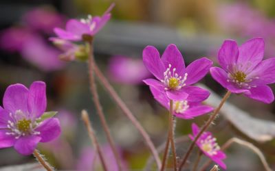 Hepatica nobilis Red Forest Hybrids - Leberblümchen